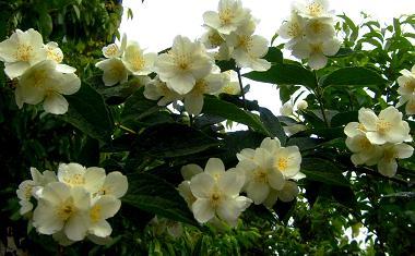 s6300478 iasomie Iasomie sau floarea miresei