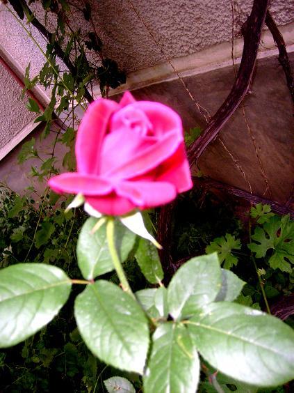 55. Gönülçelen -Inima furata - Heart Stealer - General Discussions - Comentarii - Pagina 40 S6300666-trandafir