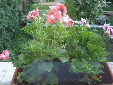pelargonia Flori la Gabi